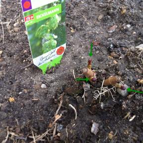 Hier seht ihr eine im Schulgarten gepflanzte Hopfenpflanze. Sie ist noch in der Winterruhe und man sieht nur Die Knospen (die Grünen Pfeile).