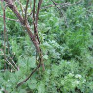Hier seht ihr wilden Hopfen, wie er Anfang Mai im Leipziger Auwald wächst.