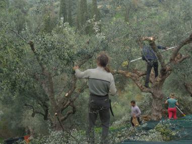 Oliven-Gärtner Jannis bei der Ernte