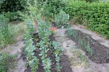 Links vorne und rechts hinten wächst die Leipziger Winterbohne. Links hinten Blüht der Scherkopf vom Vorjahr. Rechts vorne wächst Zwiebel und Haferwurz