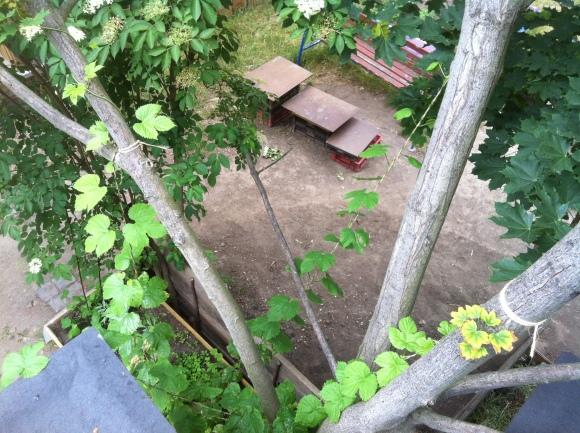 Hier schlängeln sich zwei Hopfenpflanzen, trotz zahlreicher Attacken durch Schädlinge, Richtung Baumkrone