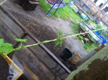 Unser Hopfen erklimmt die höheren Register unseres Gartens