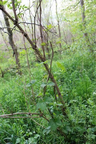 Hier seht ihr wilden Hopfen im Leipziger Auwald