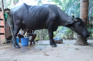 Beim Melken der Büffel-Kuh
