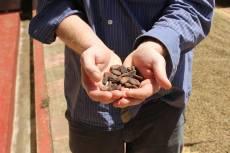Fermentiert Kakaobohnen für die Schokolade