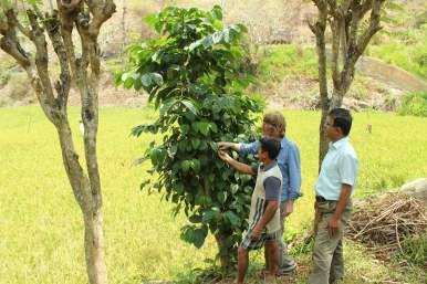 Hier begutachten Patrice, Herr Raneweera und ein Gärtner eine Pfeffer-Pflanze
