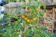 Die Open Source Tomate Sunviva in dieser Saison in unserem Garten