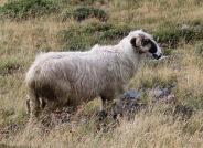 Unverkennbar ein Schaf aber ein rumänisches.
