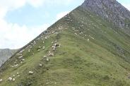 Schafe weiden sich durch die Karpaten in Rumänien