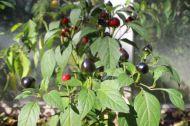 Eine Chili-Kreuzung aus C. baccatum Omnicolor und einer schwarzen Chili-Sorte.